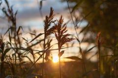 太阳` s通过芦苇发出光线 免版税图库摄影