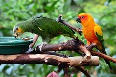 太阳conure和亚马逊桔子wingtipped鹦鹉 免版税库存图片