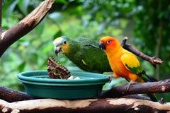太阳conure和亚马逊桔子wingtipped鹦鹉 库存图片