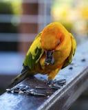 太阳conure鹦鹉吃着 库存图片