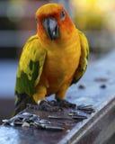 太阳conure鹦鹉吃着 免版税图库摄影