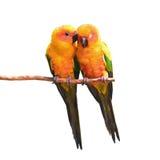 太阳Conure鹦鹉鸟 库存图片