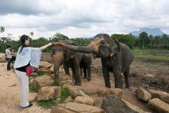夫人在Pinnewala大象孤儿院(Pinnawela)喂养其中一头更旧的大象在斯里兰卡 库存照片