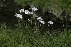 夫人工作服,碎米荠属植物pratensis 免版税库存照片