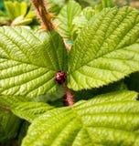 夫人烦扰红色自然昆虫宏指令 库存照片