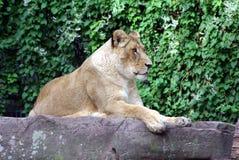 夫人狮子 库存照片