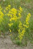 夫人` s蓬子菜,开花在干燥,含沙环境里的猪殃殃属verum 图库摄影