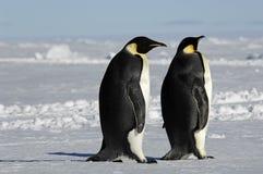 夫妇企鹅 免版税图库摄影