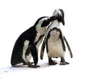 夫妇企鹅 免版税库存照片