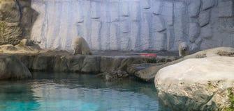 夫妇北极熊(亦称北极熊类Maritimus) 免版税库存照片