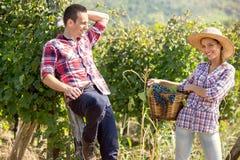 年轻夫妇在收割期的葡萄园里 免版税库存图片