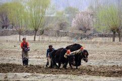 夫妇在西藏的领域播种 免版税图库摄影