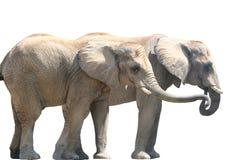 夫妇大象 库存照片