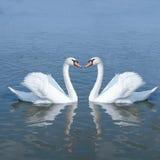夫妇天鹅 免版税图库摄影