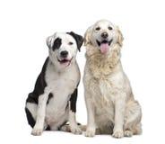 夫妇尾随金黄拉布拉多混合的猎犬 图库摄影