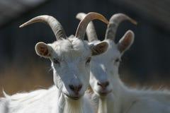 夫妇山羊 库存图片