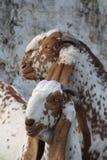 夫妇山羊 库存照片