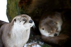 夫妇水獭冬天 免版税库存照片