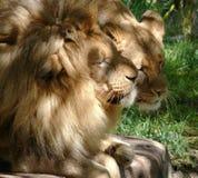 夫妇求婚的狮子 免版税库存图片
