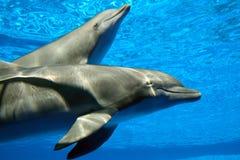 夫妇海豚 免版税库存照片