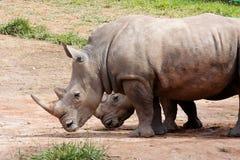 夫妇犀牛 库存图片