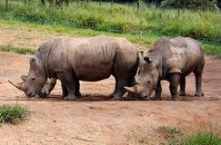 夫妇犀牛 库存照片