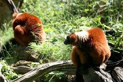 夫妇狐猴胡闹ruffed的红色 免版税库存图片