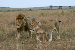 夫妇狮子 库存图片