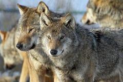 夫妇狼 免版税库存照片