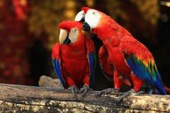 夫妇猩红色金刚鹦鹉 免版税库存图片