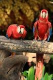 夫妇猩红色金刚鹦鹉 库存照片