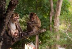 夫妇猴子 库存图片
