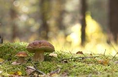 夫妇蘑菇 库存图片