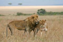 夫妇蜜月狮子 库存图片