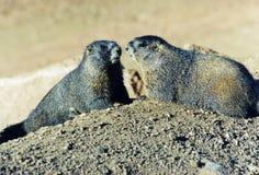 夫妇逗人喜爱的土拨鼠 免版税图库摄影