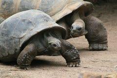 夫妇逗人喜爱的草龟 免版税库存照片
