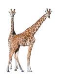 夫妇长颈鹿查出的年轻人 免版税库存照片