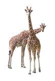 夫妇长颈鹿年轻人 免版税库存图片