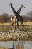 夫妇长颈鹿 库存照片