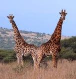 夫妇长颈鹿 免版税图库摄影