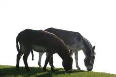夫妇驴 免版税库存照片