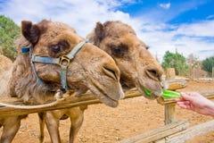 夫妇骆驼提供 免版税库存照片