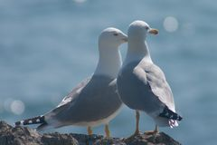 夫妇鸥与海运结婚 免版税库存照片