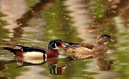 夫妇鸭子木头 库存图片