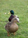 夫妇鸭子野鸭 库存图片