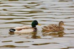 夫妇鸭子 库存图片