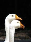 夫妇鹅 免版税图库摄影