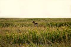 夫妇鹿 免版税库存照片