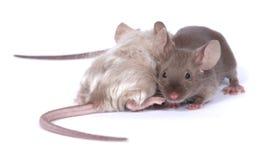 夫妇鼠标 库存照片