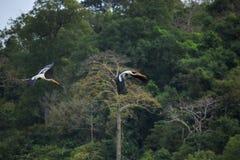 夫妇绘了鹳鸟飞行反对绿色自然狂放 免版税库存照片